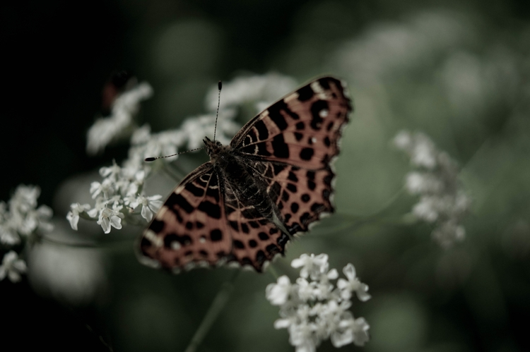 nature, butterfly, animal, insect - blackwyrt | ello