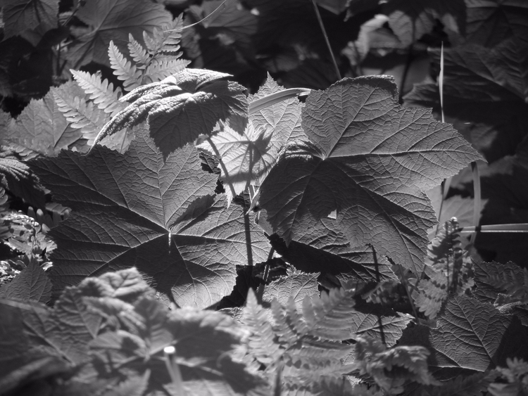 Thimbleberry Leaves, Late After - thepoetsdoor | ello