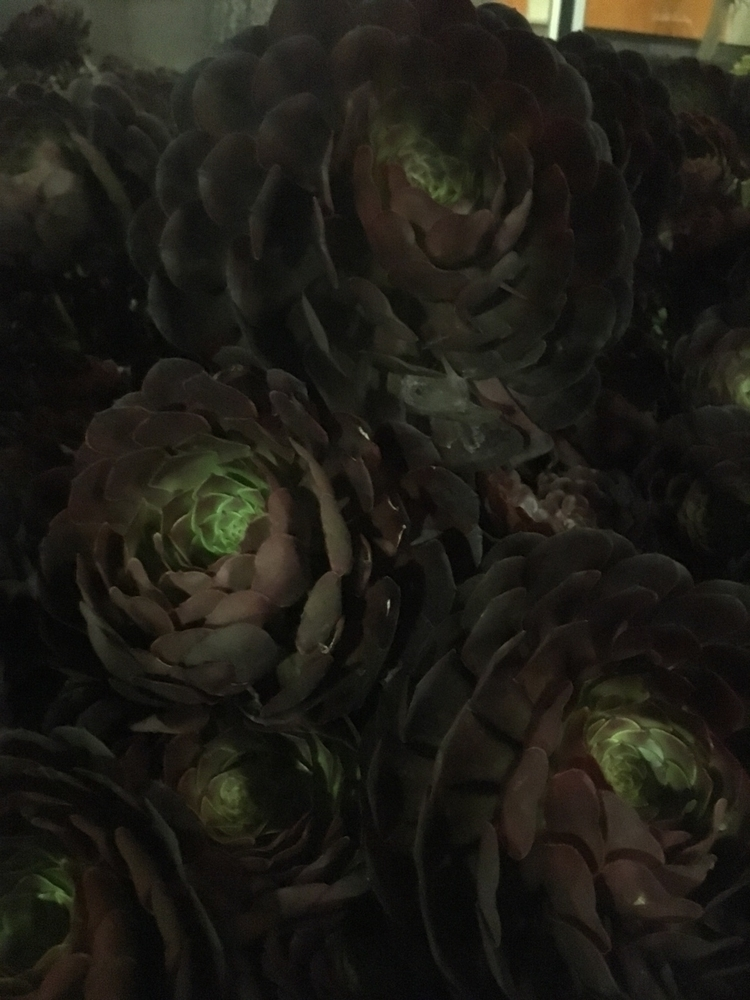 Black succulents LA :raised_han - sandstonecrystals | ello