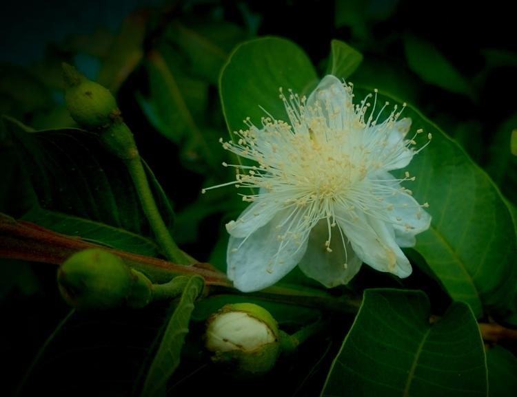 Guava flowers - India - atulbw | ello