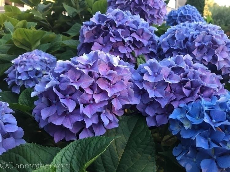 flowers, Claude Monet - claudemonet - clanmother | ello