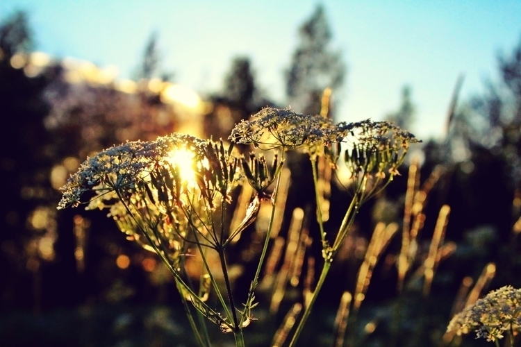 sunset, flowers, finnishnature - mentira0 | ello