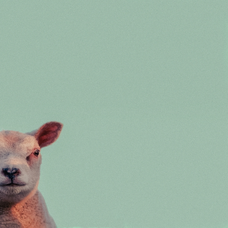Meh - animals, color, sheep, lamb - klaasphoto | ello