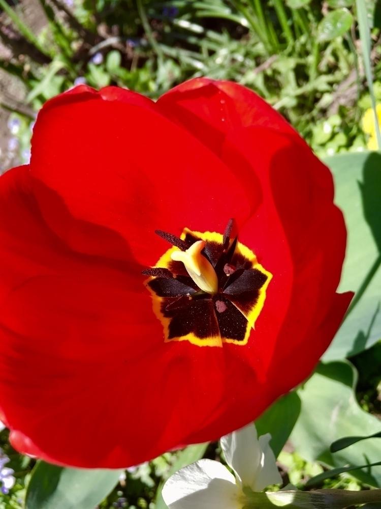 Colorful tulips - mother, nature - ellamichaelis   ello