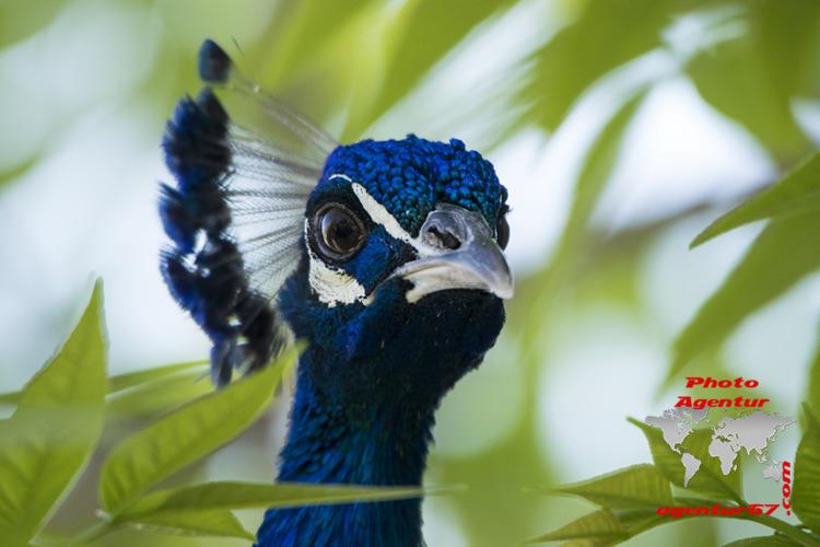 Pfau - pavo real peacock - agentur67 - agentur67 | ello