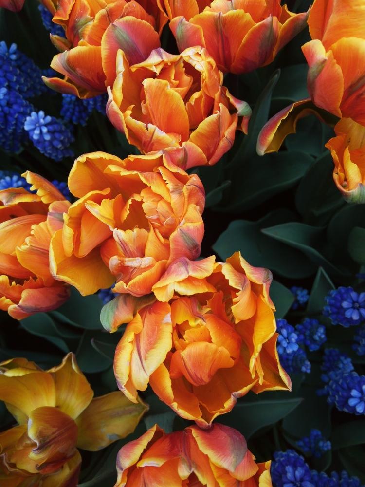Dutch Tulips. Photo Michele Pag - michele-paggetta | ello