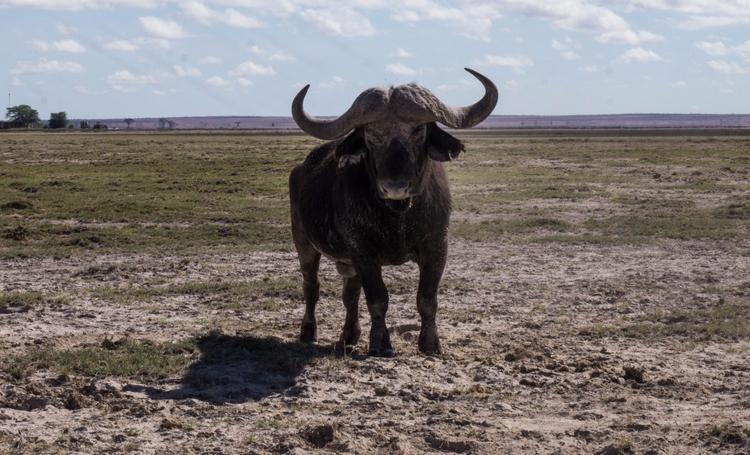 Standoff. Cape Buffalo (Synceru - gabibi | ello
