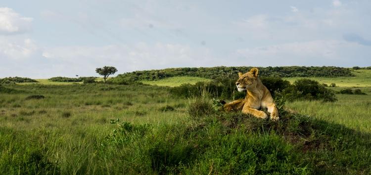 Exalted. East African Lion (Pan - gabibi | ello