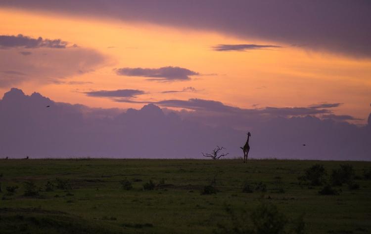 Journey Home. Masai giraffe (Gi - gabibi | ello