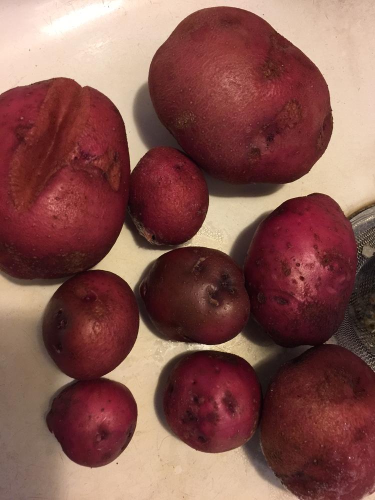 Starting potatoes garden... cro - adverteria | ello
