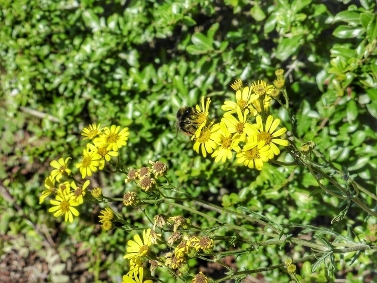 Bee (Panasonic LUMIX TZ40 - paulbines   ello