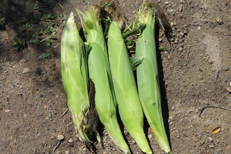 ears corn picked today - vegetables - ejfern28 | ello