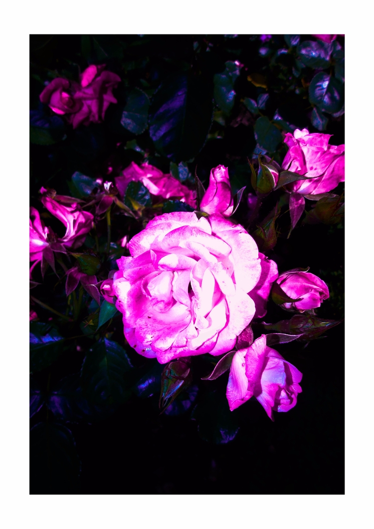 Rose - Collage#colour, floral, photography - darlingdesign | ello