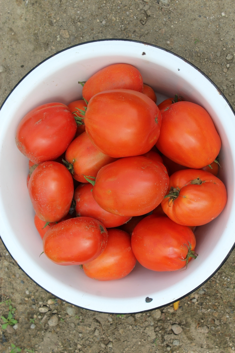 Roma tomatoes picked yesterday - ejfern28 | ello