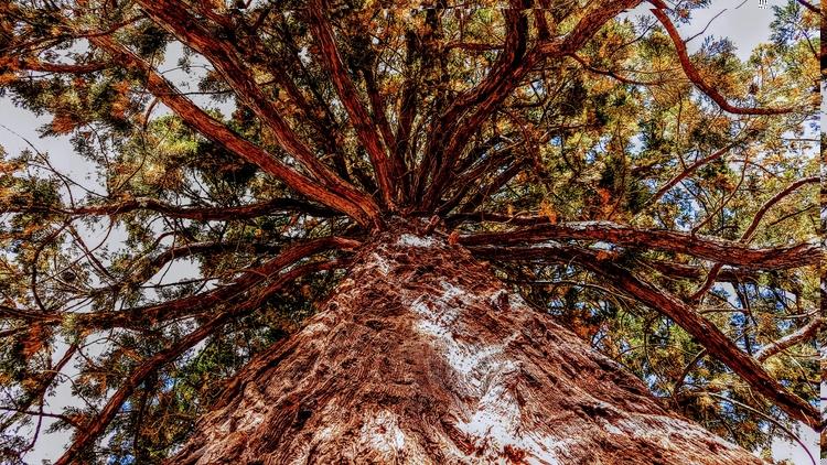 Redwoodtree Germany - tree, redwoodtree - rockedly | ello