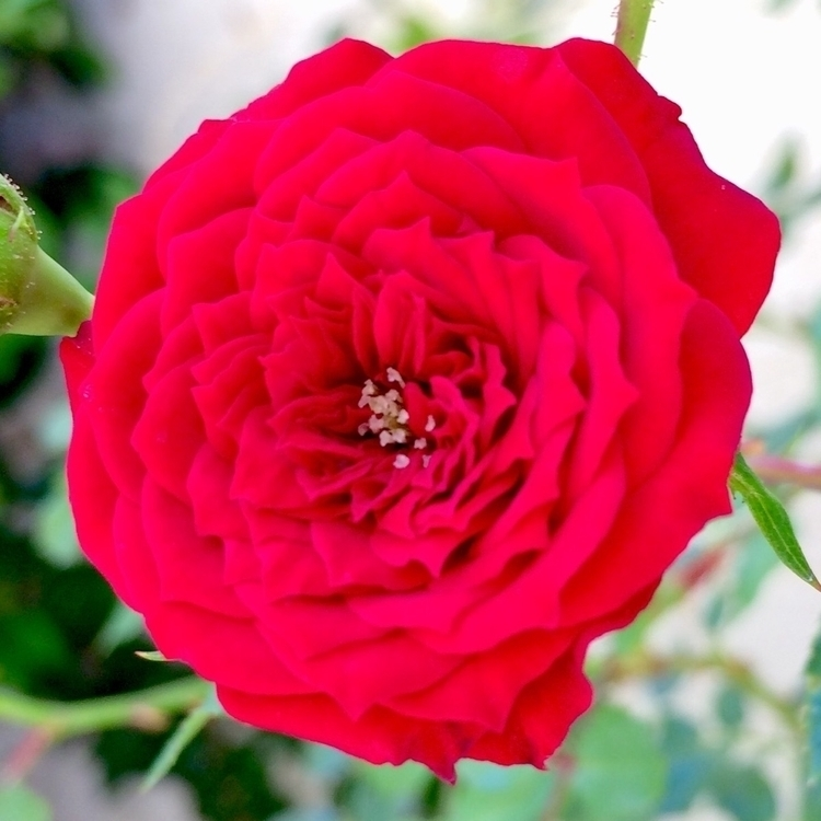 Dwarf Rose, Pasadena, CA, Augus - jimvanover | ello