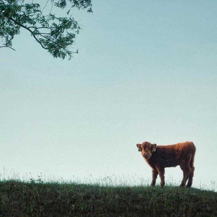 Hooray Earth - animals, color, cow - klaasphoto | ello