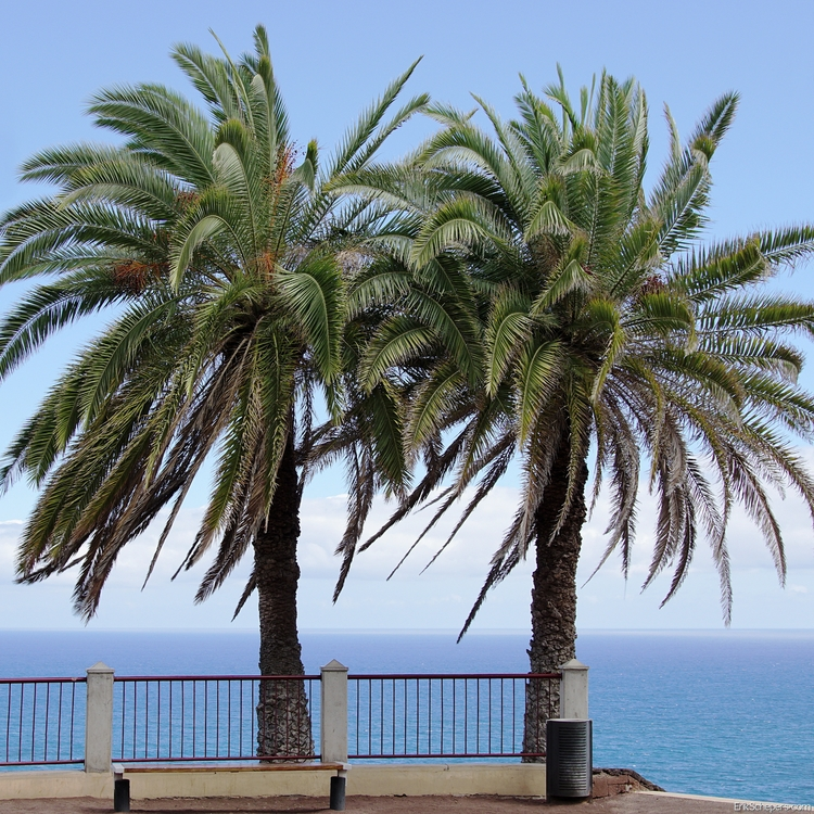 Palm Trees Tenerife, Puerto del - erik_schepers | ello