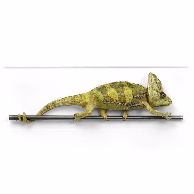24x16 Veiled Chameleon. chamele - christophermarley | ello