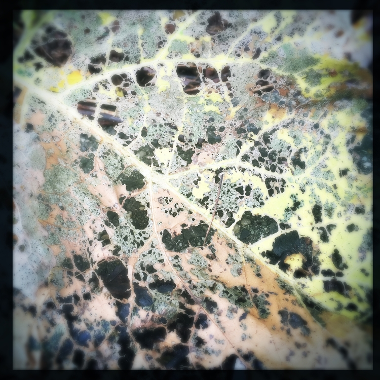 leaf, decay, lace - lisaly16 | ello