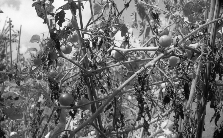 season - analog, photography, tomatoes - flaneurity | ello