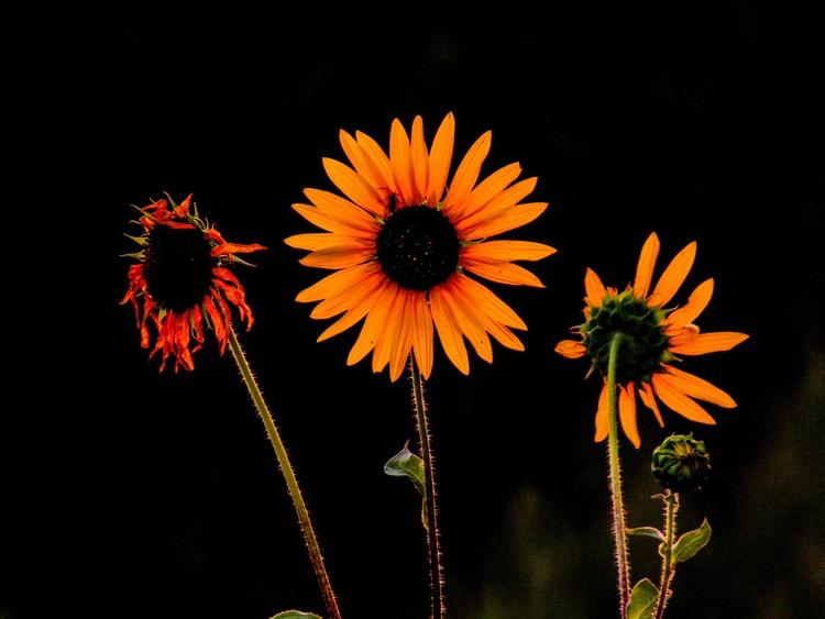 Late Sunflowers. Print sale - katcigarette | ello