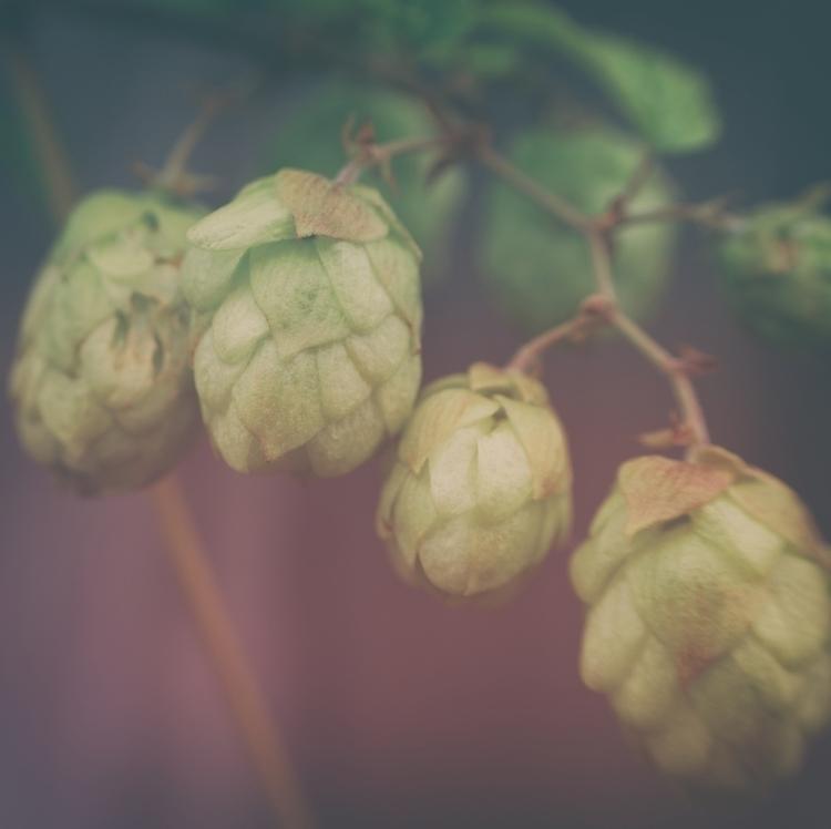 Hops - photography, flower, macro - marcushammerschmitt | ello
