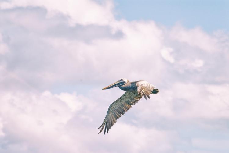 flight pelican, IV Maria Island - christofkessemeier | ello