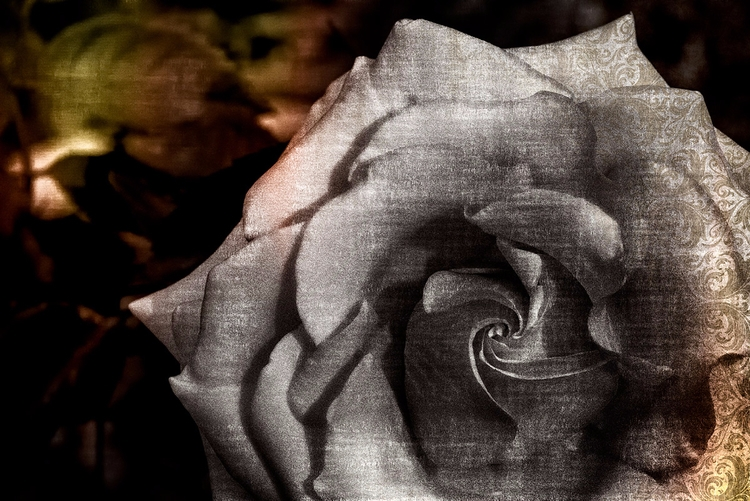 Rose Sorrows - flower, flowers, macro - doc   ello