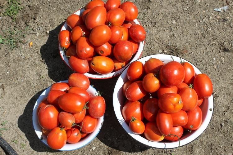 picked largest Roma tomato harv - ejfern28 | ello