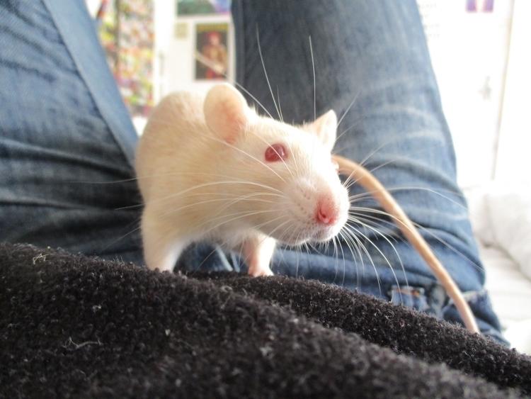 creatures. tiny hands, Damn - rats - pleasantcynic | ello
