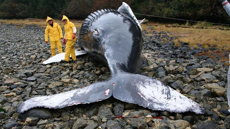¿Ballenas varadas en las playas - codigooculto | ello