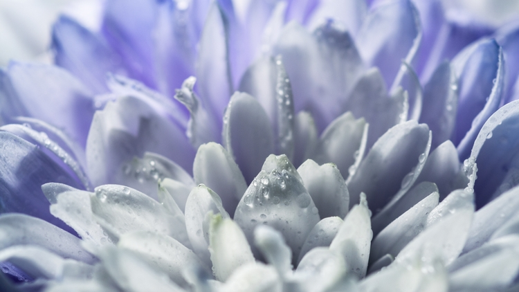 macro work: Chrysanthemum - closeup - davidhawkinsweeks | ello