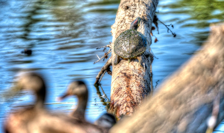 turtle Sepulveda Wildlife Area - ellomaggie | ello