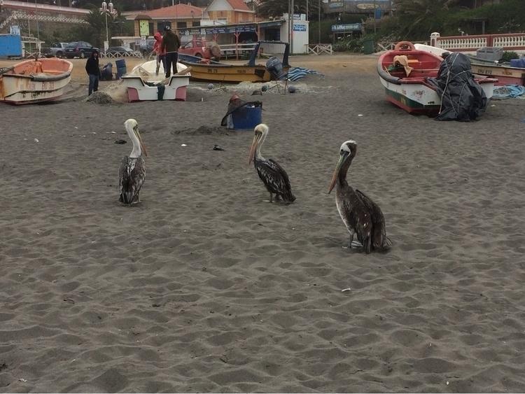 Pichilemu, Pelicans, Pelicanos - jwfollinch | ello