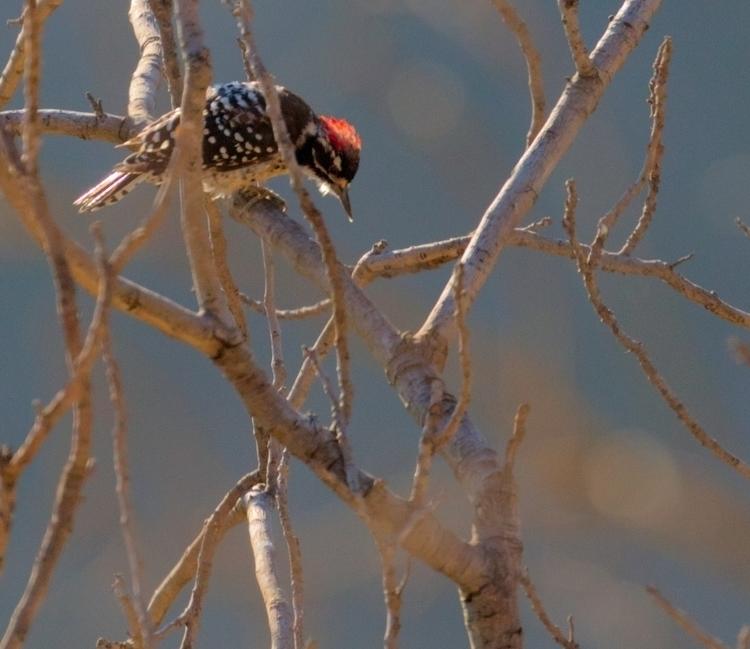 woodpecker Dixie Canyon, Sherma - ellomaggie | ello