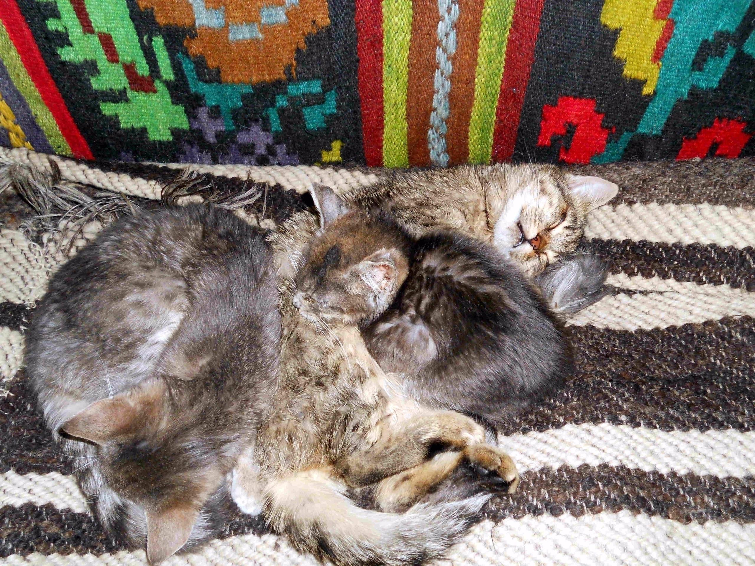 Cats napping Byzantine Hutsul c - fondator | ello