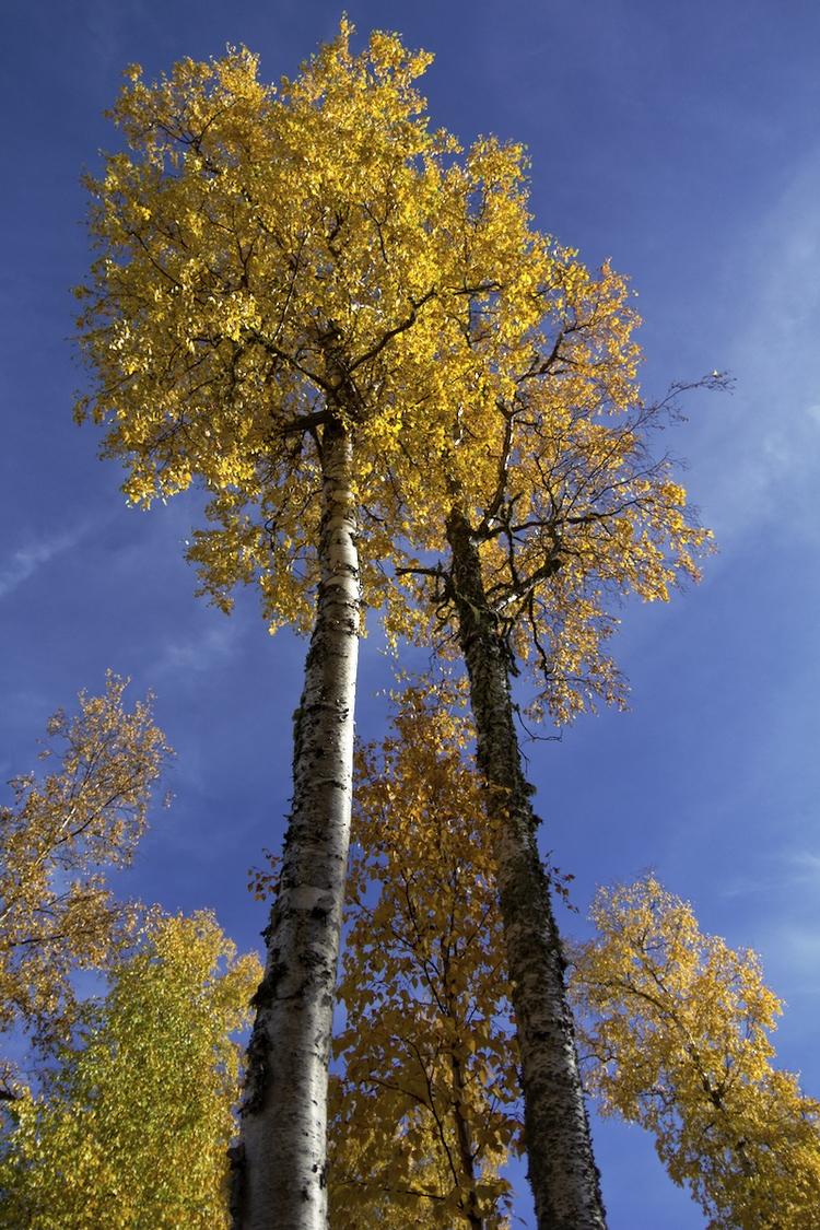 gorgeous birch color front yard - lwpetersen | ello