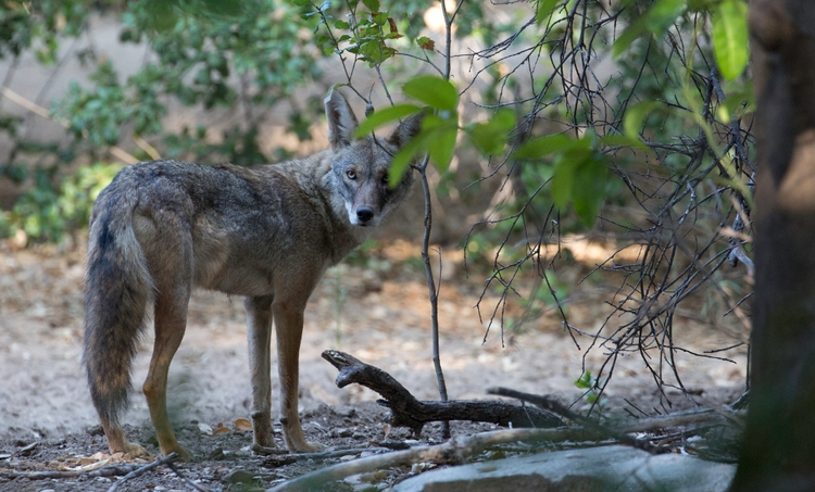 Coyote, Orcutt Ranch, West San  - ellomaggie | ello