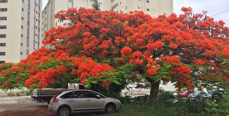 Belo flamboyant em estacionamen - antoniomg | ello