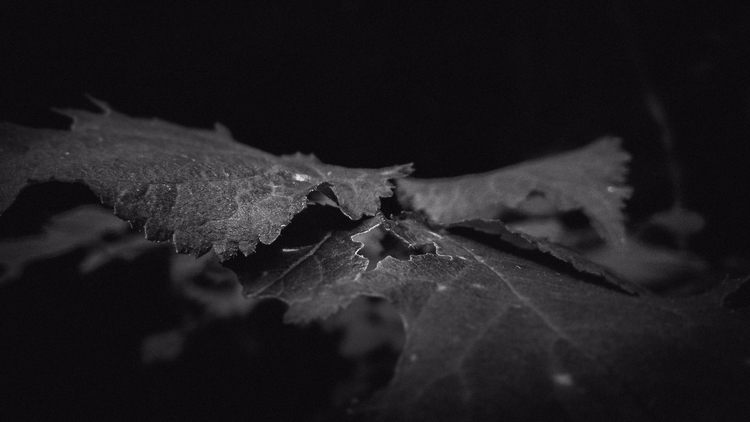 blackandwhite, bw, leaves, lithuania - beheroght | ello