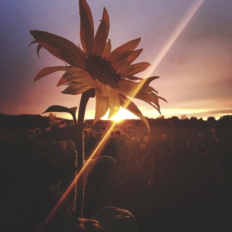 Struck light - sunset, sunflowers - yogiwod   ello