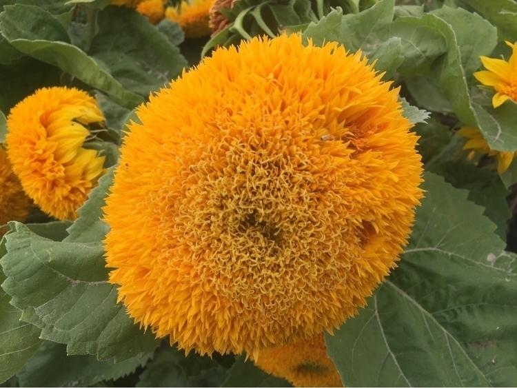 sunflowers ^_^ (pre-bloom - coolphotochic182   ello