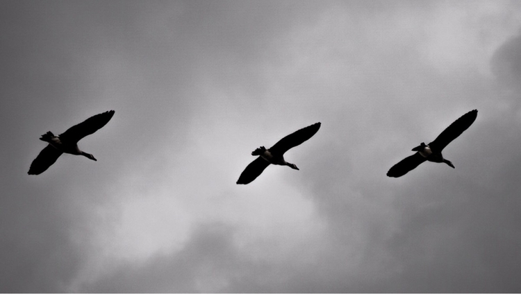 Wild Geese stop Signs Autumn - 50mm - greyswan | ello
