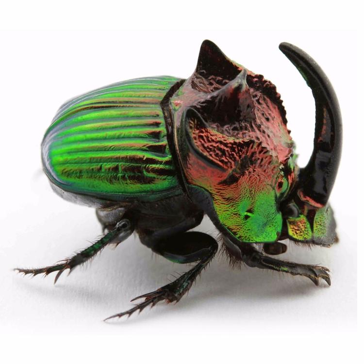 Dung Beetle. ⠀ beautiful beetle - christophermarley | ello