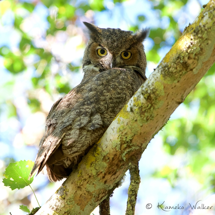 Whooo young Great Horned Owl st - kamekowalker | ello