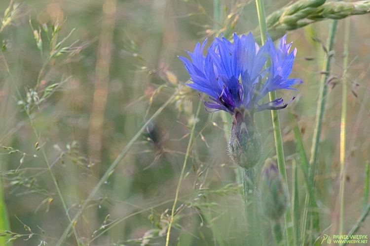 Centaurea Cyanus (Cornflower - photography - pawelwiesyk | ello