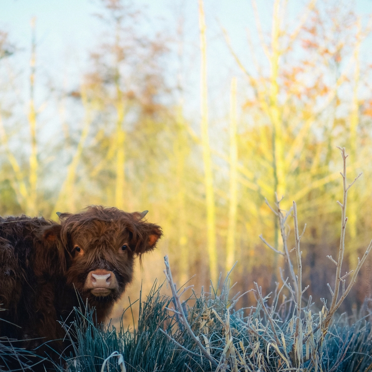 Sunrise - animals, color, cow, highlandcattle - klaasphoto | ello