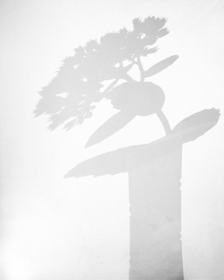 Shadow - botanical, stillife, shadow - peter_skoglund | ello