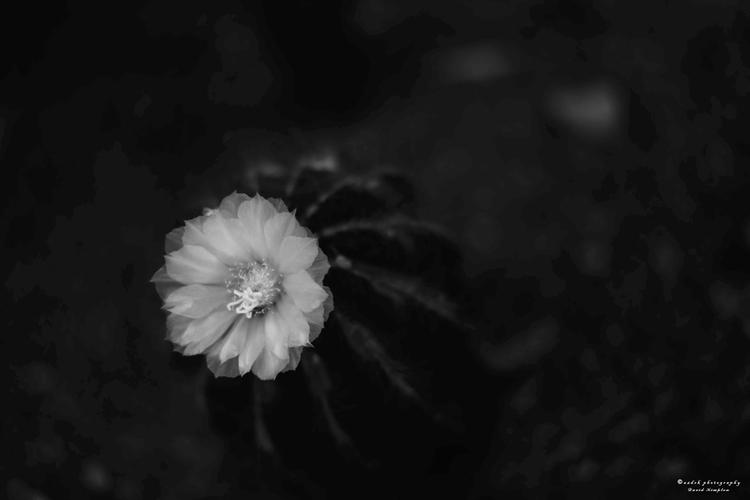 Cactus Flower, 2017 d610 50mm l - azdrk | ello